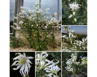 Michauxia Tchihatchewii * Catherine Wheel * Rare Drooping Flowers * 20 Seeds