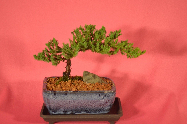 Indoor Blueberry Bush