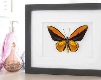 Rare Real Ornithoptera Croesus Lydius Framed  - Taxidermy - Home Decoration