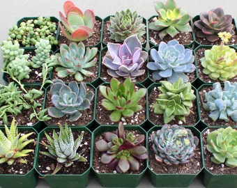 "YOU CHOOSE 4: Group of Four Colorful 3"" Succulents, Succulent Plants, Hens and Chicks, Succulents"