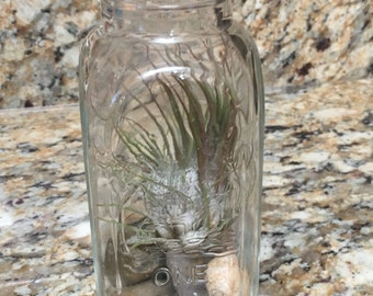 Honey Jar Air Plant