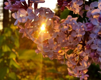 Lilac on Fire