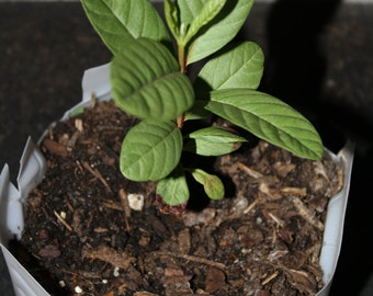 One Apple Guava Seedling