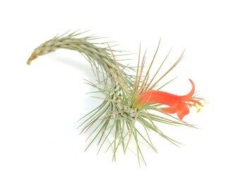 Tillandsia Funckiana Air Plant (Large) // Hello Tilly Airplant