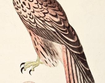 Kite (Bird) and Egg Illustration (c. 1880)