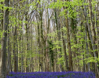 bluebells photo - bluebell - 14 x 11 inch mount - bluebell woods - a4 fine art print - nature photography - floral photograph - slindon