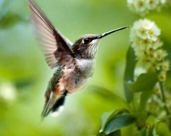 Nature Photography, Hummingbird Print, Hummingbird Photo, Bird Photography, Fine Art Photography, Wildlife Prints, Bird Art, Photo Prints