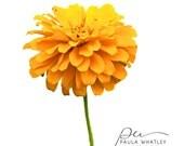 yellow zinnia photo, zinnia print, yellow decor, yellow flower photo, yellow flower print, yellow floral art, flower photo, floral photo