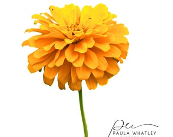 yellow zinnia photo, zinnia print,  yellow decor, yellow flower photo, yellow flower print, yellow floral art, flower photo, floral photo