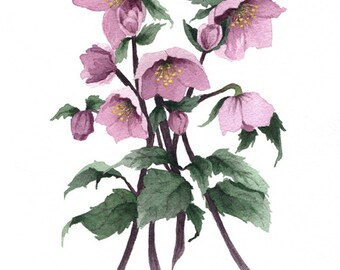 Fine Art Print of Original Watercolor Painting - Rosy Hellebore