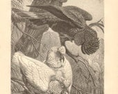 1878 Long-billed Corella and Black Cockatoo Original Antique Engraving