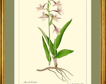 Marsh Orchid - Botanical print reproduction - EPIPACTIS PALUSTRIS – 413