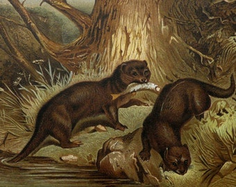 1890 Antique print of RIVER OTTERS. Otter. 126 years old nice lithograph
