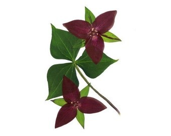 Trillium, Set of 6 Pressed Flower Cards, Wildflower notecards - #063
