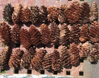 30 Real Pine Cones Handpicked Small Sized Pine Cones from Upstate New York