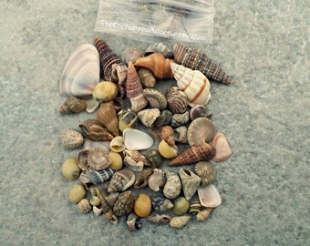 Scenic Tiny Sea Shells  Etsy Studio With Engaging Tiny Sea Shells For Beach Themed Diy  Miniature Garden Terrarium Fairy  Garden Supplies  Large Bag  Oz With Cute B  Q Garden Furniture Also Garden Umbrellas For Sale In Addition Gardening Accessories Uk And Weed Killer For Garden Beds As Well As Meerkat Garden Statues Additionally Savage Garden Members From Etsystudiocom With   Engaging Tiny Sea Shells  Etsy Studio With Cute Tiny Sea Shells For Beach Themed Diy  Miniature Garden Terrarium Fairy  Garden Supplies  Large Bag  Oz And Scenic B  Q Garden Furniture Also Garden Umbrellas For Sale In Addition Gardening Accessories Uk From Etsystudiocom