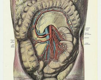 Guts Vintage Illustrations 1933 Prints medical anatomy medical anatomic anatomical chart wall decor entrails blood throat antique paper