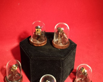 Taxidermy Carpenter Bee in Glass Dome Display-entomology-bugs-insect-stinger