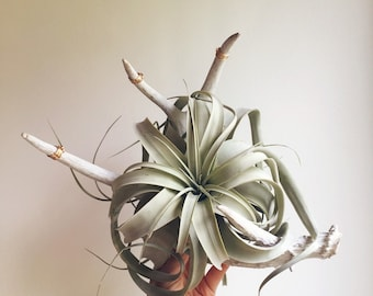 Xerographica and Antler Bouquet