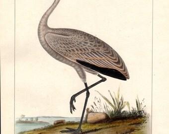 1860 Little Crane Antique Bird Print Color Large Lithograph