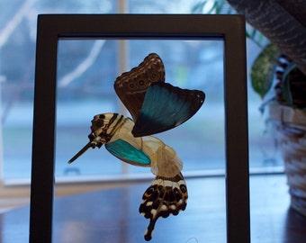 6x8 Butterfly Wing Hummingbird