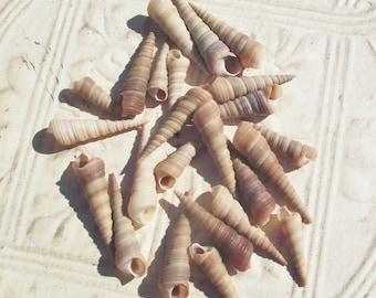 TURITELLA SEA SHELLS,Two Dozen Sea Snail Shells,Craft Shells,Shells for Jewelry,Sea Shells,Spiral Shells,Nautical,Marine Life,Beach,Ocean