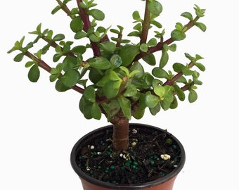 "Mini Jade Plant - Portulacaria afra - Easy Houseplant - 4"" Pot"