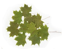 """Dried pressed green real maple leaves of small size, dimensions about 5-6"""" (12-15cm). Botanical material for crafts, herbarium, projects."""
