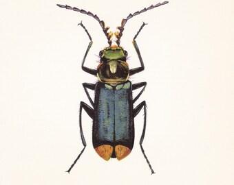 vintage beetle art print Malachius bipunctatus home decor 8x10 inches