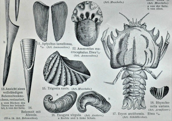 Jurassic fossils. Mesozoic Era.  Old book plate, 1904. Antique  illustration. 112 years lithograph. 9'6 x 6'2 inches.