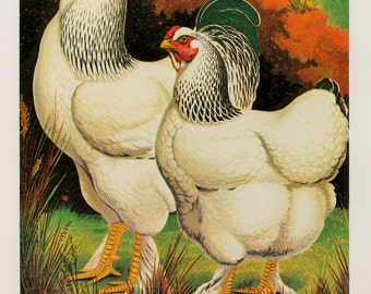 Vintage Poultry Print, Double Sided Print by Ludlow: Light Brahmas, Chickens