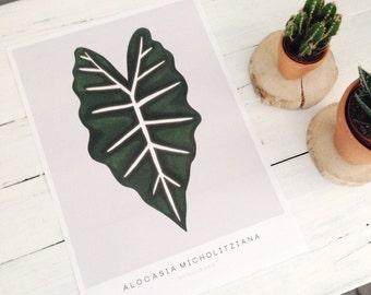 Poster Alocasia Micholitziana