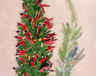 Antique Print, FLOWERING AUSTRALIAN PLANTS, chart 105 1930 beautiful wall art vintage color lithograph illustration wild flowers floral