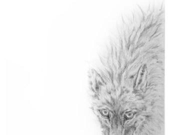 North American Gray Wolf Sketch