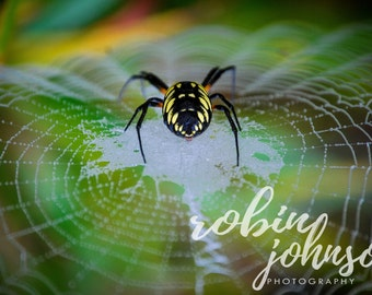 Black and Yellow Garden Spider - Web, Dew, water droplets Print