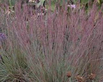 Little Bluestem Seeds, Schizachyrium scoparium, Ornamental Grass, Perennial, Native Grass