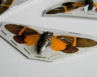 Real Orange and Black Cicada (Bequartina electa)