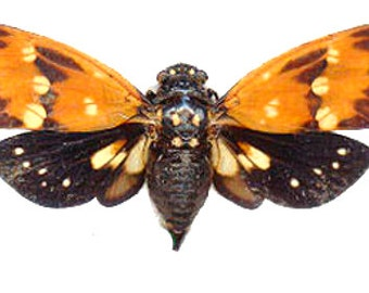 Supplies for your artworks - dried insects - :  5 Cicadidae ambragaena ambra , SPREAD, free shipping