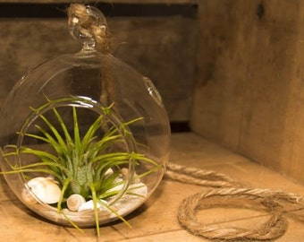 Air Plant Tillandsia with Hanging Glass Globe and Seashells