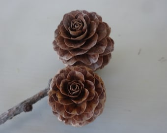 Larch Cones, Small Cones 50