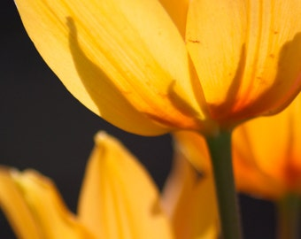 Afternoon Tulips 8x10 print