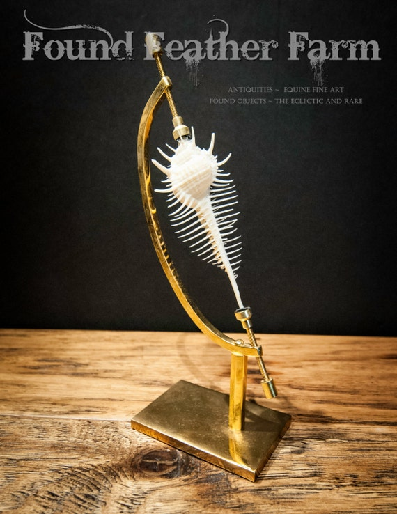 Specimen Venus Comb Murex Seashell on a 24K Gold Plated Display Stand