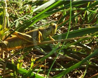 Grasshopper - Digital Photo Download