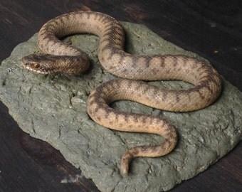 Common European Viper, Adder, Vipera berus, Serpent, Snake