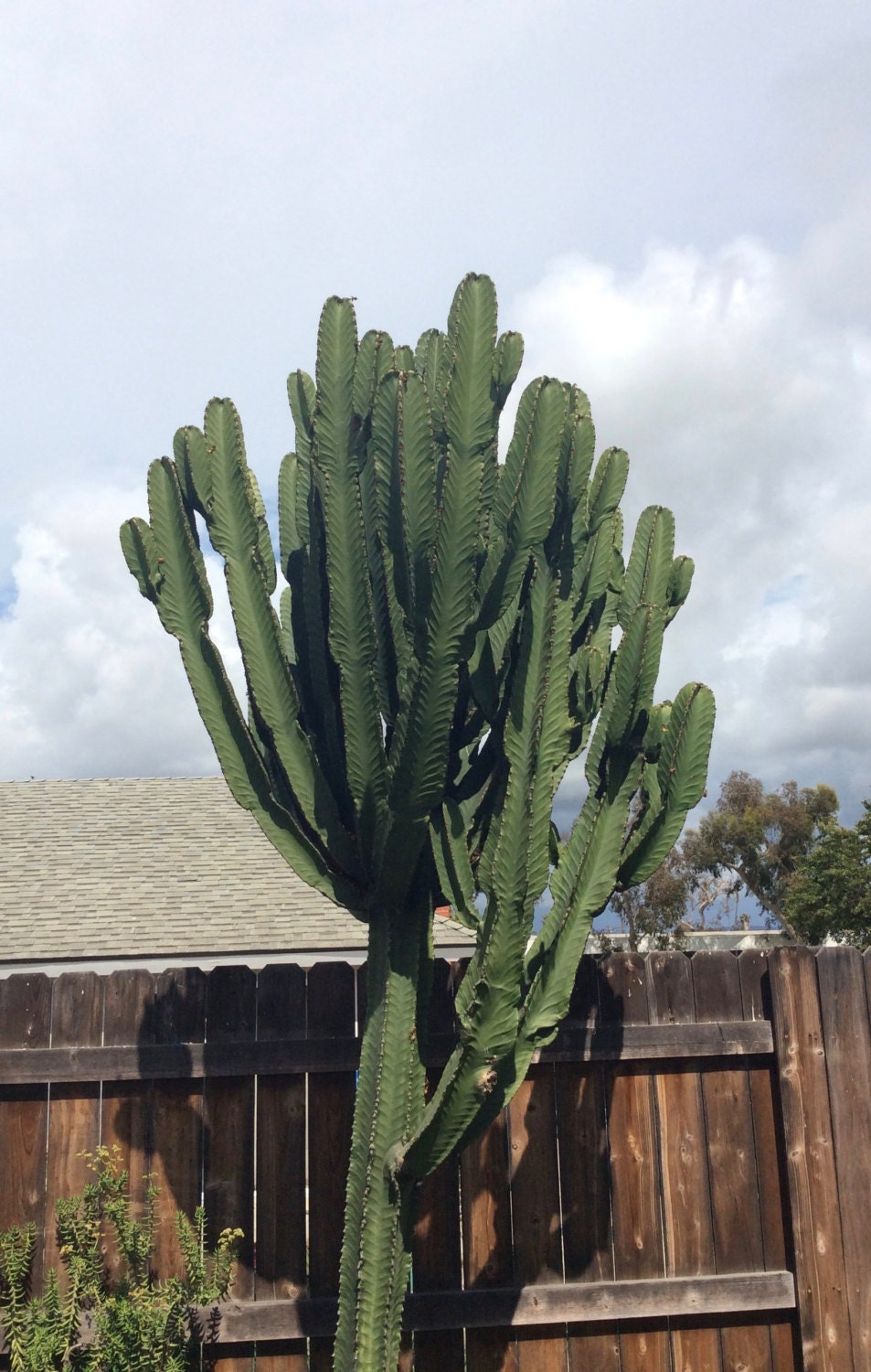 how to get cuttings from euphorbia
