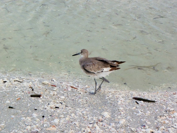 Sea Bird Photography,Sand Piper Photography, Bird Photography, Nature Photograph, Beach photograpy, summer, bird photograph,5421(2)