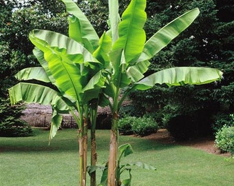 World's Most Cold Hardy Banana Plant - Musa 'Basjoo' While Supplies Last  Almost sold out!!!