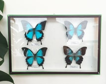 Taxidermy butterflies. Curiosity. Insects. Taxidermy. Butterflies. Indonesia. Papilio ulysses male, female, rare, telegonus, 4ex.