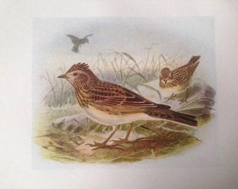 1907 SKYLARK bird antique print, colour, original, vintage