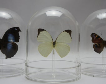 Butterfly in glass domes. Butterflies in antique glass dome. Taxidermy Butterfly Gift